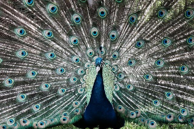 peacock-1723532_640